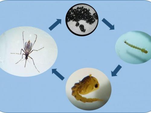 Aedes aegypti: combate pode ser mais eficiente durante o frio